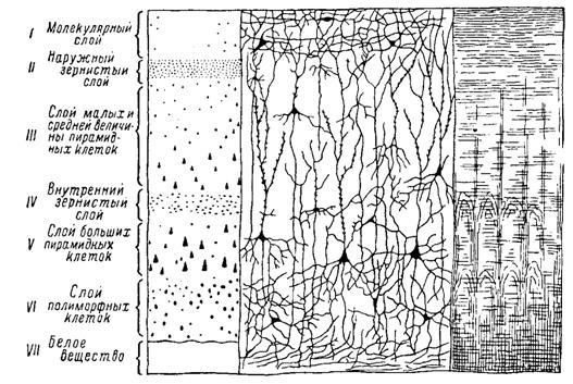 Схемы коры больших полушарий