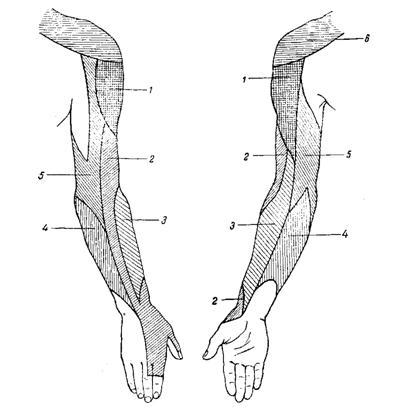 схема кожной иннервации плеча