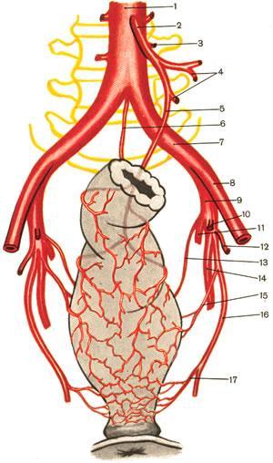 Схема кровоснабжения