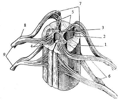 От передних рогов начинаются передние корешки (6) спинномозговых нервов.  В них располагаются аксоны двигательных...