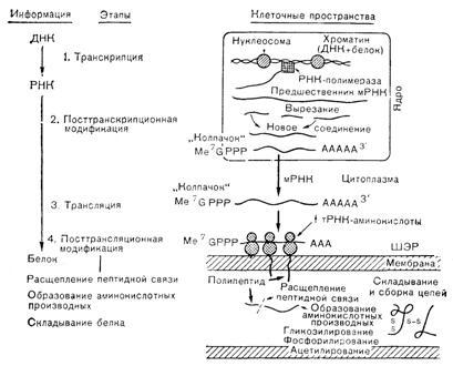 Белковые гормоны - Биосинтез и