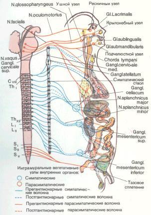 Вегетативную нервную систему