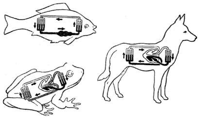 Сравнение строения органов кровообращения человека и позвоночных животных