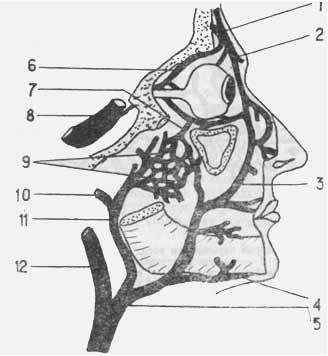 Взаимосвязь глазничных, лицевых и носовых вен