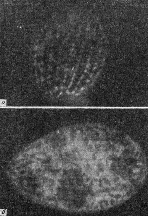 Флуоресценция ДСМ в клетке Tetrahymena Pyriformis