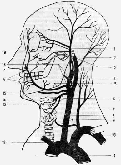 Артериальная система головы и шеи